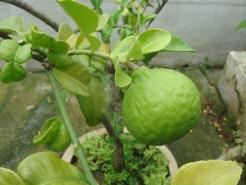 Combava Petitgrain - Kaffir Lime Essential Oil Citrus hystrix