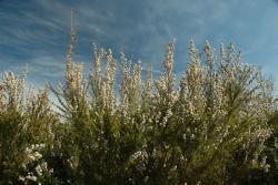 Fragonia Plants