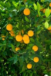 Sweet Orange Tree