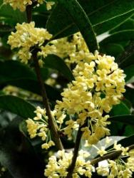 Osmanthus Flowers