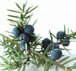 Juniper branch  & Berries