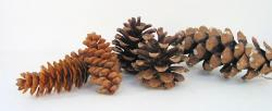 Pine Cone assortment